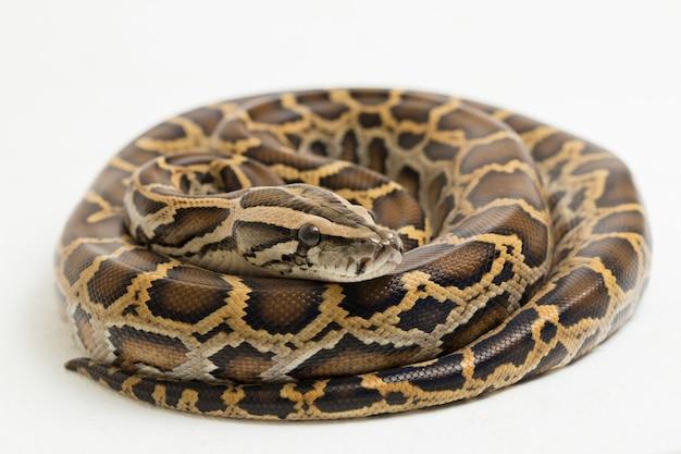 Wąż birmański python python molurus bivittatus na białym tle