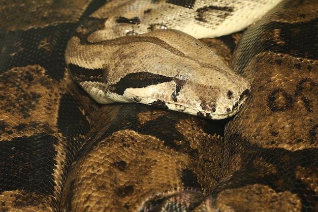 Wąż boa dusiciel z bliska jest dużym wężem