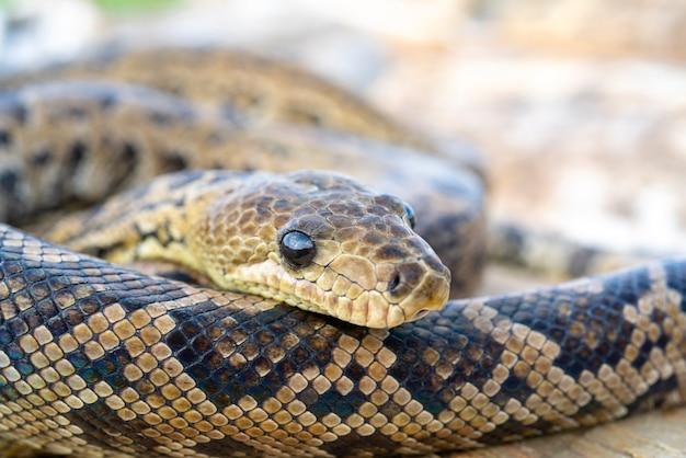 Wąż chilabothrus angulife, - kubański boa i kubański boa drzewny.