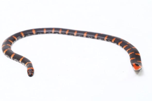 Wąż czerwonogoniasty na białym tle