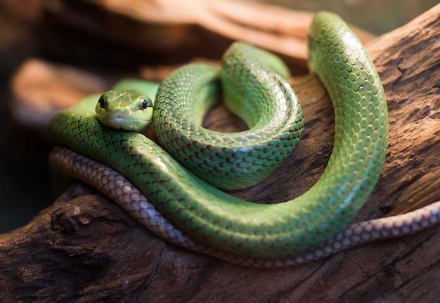 Wąż czerwony tailed rat gonyosoma oxycephalum, z bliska