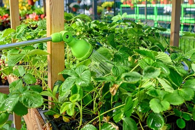 Wąż do podlewania, pistolet natryskowy do podlewania roślin w ogrodzie. podlewanie truskawek ogrodowych w centrum ogrodniczym.