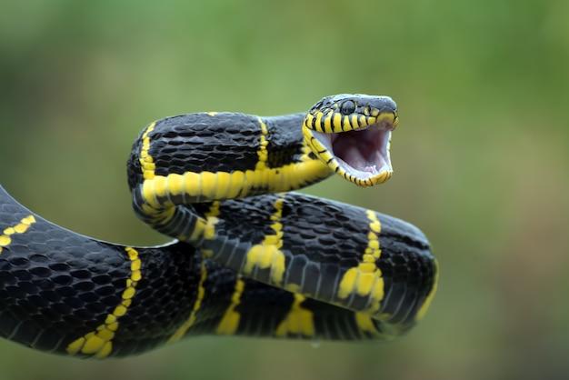 Wąż kot złotonogi w pozycji do ataku