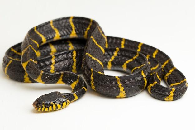 Wąż mangrowy lub wąż kot o złotej obrączce na białym tle
