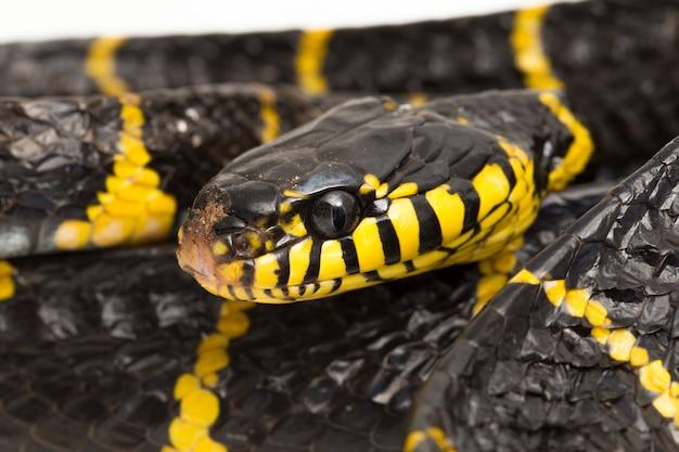 Wąż mangrowy lub wąż kot o złotej obrączce