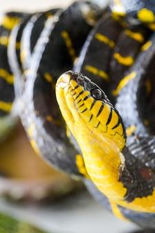 Wąż mangrowy pasmowy (boiga dendrophila melanota). tajlandia.