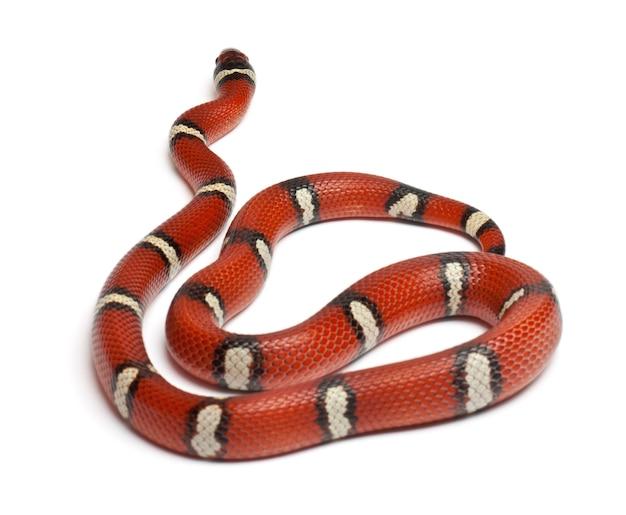 Wąż mleczny lub wąż mleczny, lampropeltis triangulum nelsoni, przed białym tłem