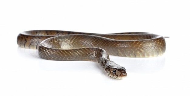 Wąż na białym tle