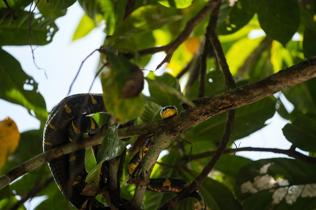 Wąż namorzynowy na gałęzi drzewa w małej amazon lub klong sang nae canal phang nga tajlandia