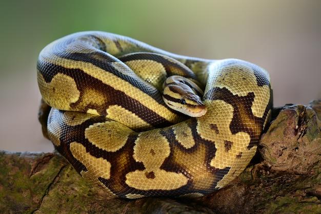 Wąż phyton w tropikalnym lesie