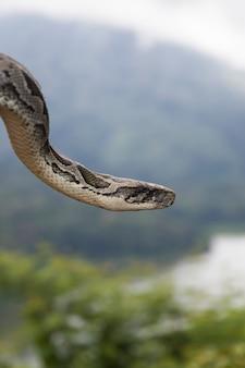 Wąż pythona