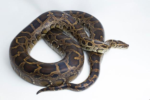Wąż pyton birmański python molurus bivittatus na białym tle