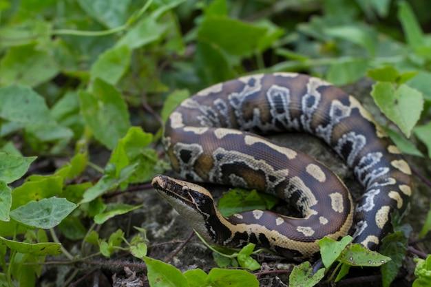 Wąż pytona czerwonokrwisty sumatrzański