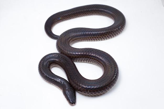 Wąż sunbeam na białym tle