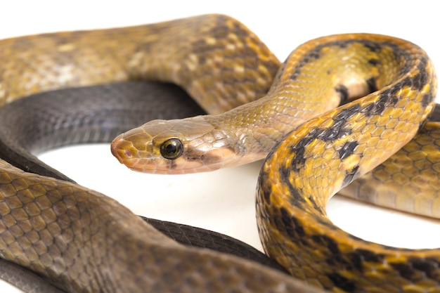 Wąż szczur czarny miedzi na białym tle