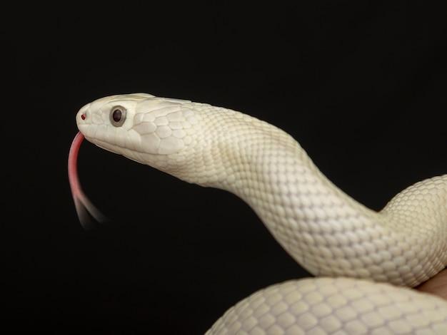 Wąż szczura z teksasu (elaphe obsoleta lindheimeri) to podgatunek węża szczura, niejadowitego colubrida występującego w stanach zjednoczonych, głównie w stanie teksas.