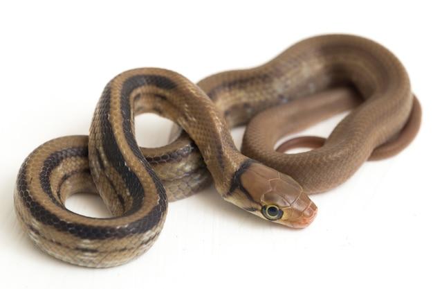 Wąż szczurów promieniowanej copperhead na białym tle