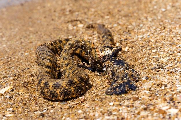 Wąż wodny z usidleniem ryb na brzegu stawu