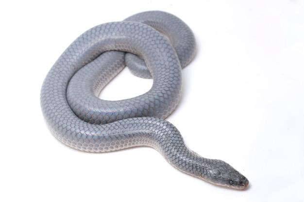 Wąż xenopeltis unicolor na białym tle