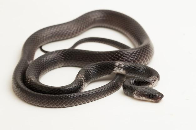 Wąż z białymi paskami lub malajski wąż wilk z pręgami
