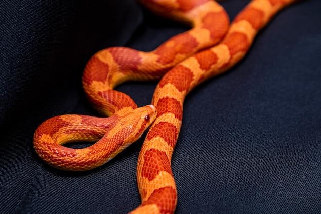 Wąż zbożowy (pantherophis guttatus) to północnoamerykański gatunek węża szczura, który ujarzmia swoją małą ofiarę przez zwężenie..