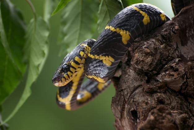 Wąż ze złotymi pierścieniami zwinął się wokół drzewa i był gotowy do ataku