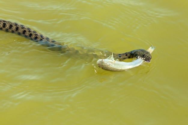 Wąż zjada ryby wąż poluje na ryby w wodzie wąż łapie rybę i chce jeść
