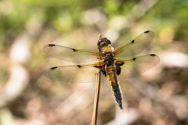Ważka czterolistna chaser, libellula quadrimaculata, odpoczywa