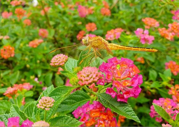 Ważka na kwiatach lantana camara w ogrodzie