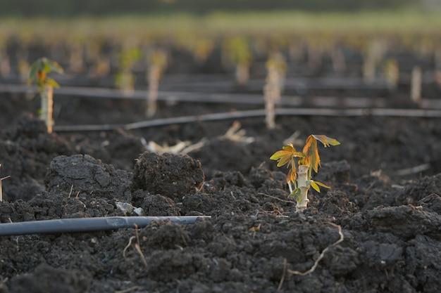 Wczesne odmiany manioku posadzone podczas sezonu uprawy.