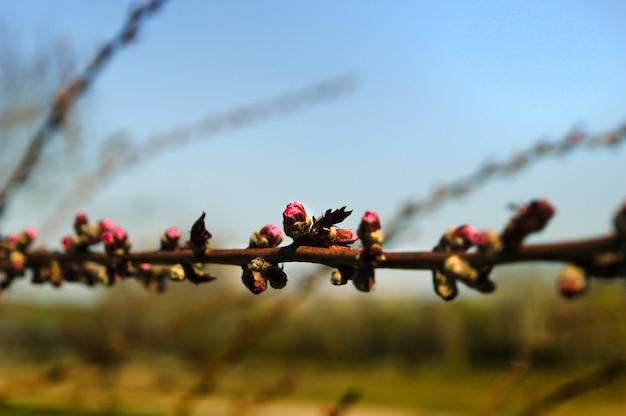 Wczesny kwiat jabłoni w miejskim ogrodzie botanicznym.
