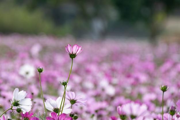 Wczesnym rankiem kwiaty perskich chryzantem wszystkich kolorów niosą rosę