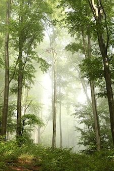 We mgle malowniczy wiosenny las bukowy