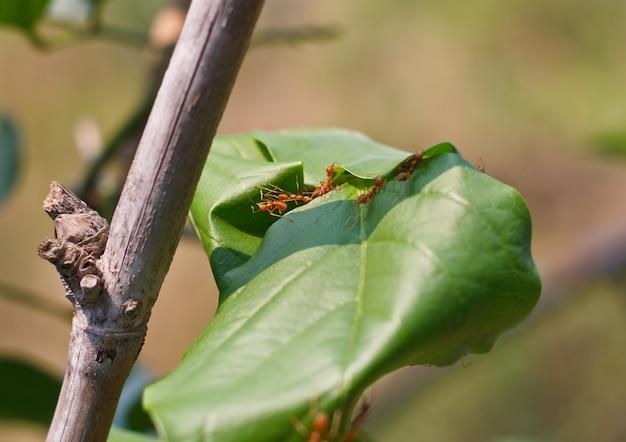 Weaver ants (oecophylla smaragdina) pracują razem, aby zbudować gniazdo.