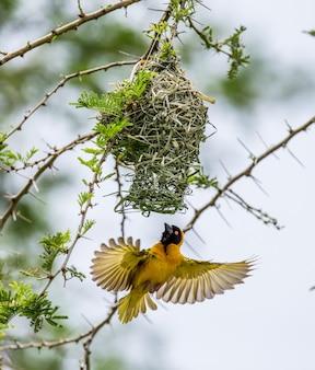 Weaver buduje gniazdo na drzewie