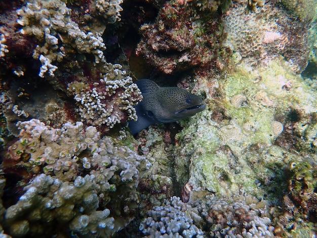 Węgorz murena z koralowcami w morzu, podwodny krajobraz z morskim życiem