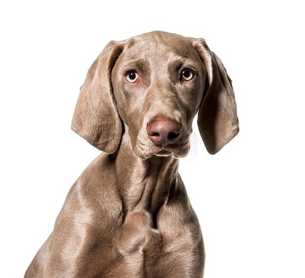 Weimaraner pies patrzeje kamerę przeciw białemu tłu