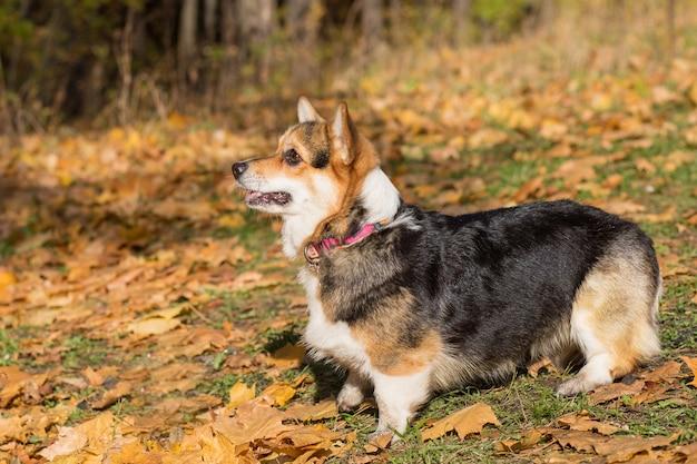 Welsh corgi pembroke pies w lesie jesienią