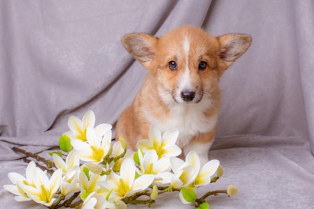 Welsh corgi puppy w pobliżu bukietów wiosennych kwiatów