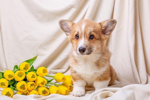 Welsh corgi szczeniak siedzi na beżowym tle z żółtymi tulipanami