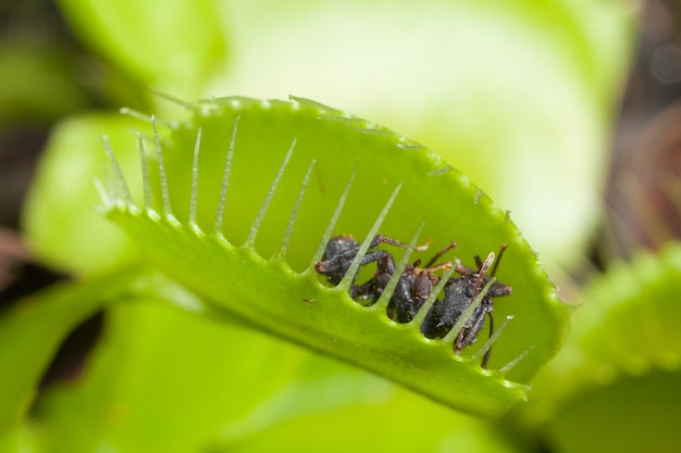 Wenus flytrap liść je muchy