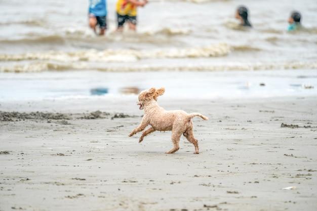 Wesoły, aktywny pies kałuża biega i skacze po plaży bangsean w prowincji chonburi w tajlandii.