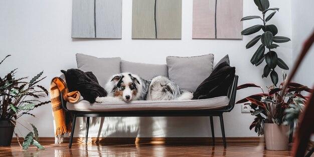 Wesoły owczarek australijski o wielobarwnym futerku za dnia siedzi na kanapie w przytulnym i nowoczesnym pokoju.