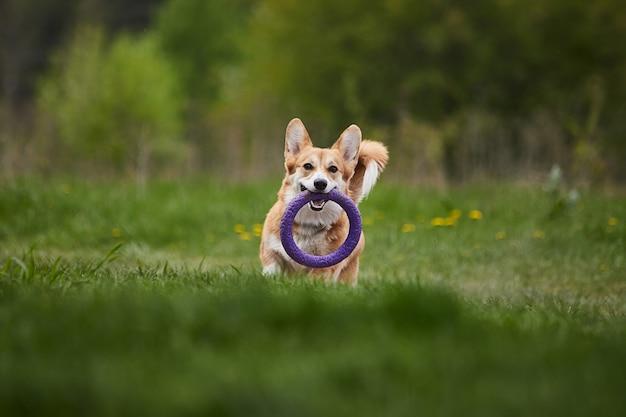 Wesoły welsh corgi pembroke pies bawiący się z pullerem w wiosennym parku