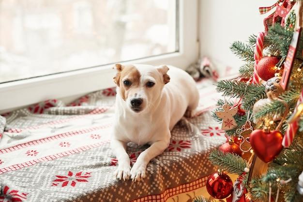 Wesołych świąt. pies jack russell terrier w domu ozdobiony choinką i prezentami życzy szczęśliwych świąt i wigilii. szablon pocztówki i kalendarz. świąteczny pies jack russell terrier