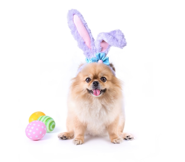Wesołych świąt wielkanocnych kolorowe jaja i słodkie szczenięta pomorskie pekińczyk rasy mieszanej nosić uszy królika siedzi na białym tle.