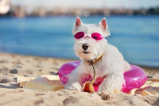 West highland terrier po odpoczynku na plaży przyjaznej psom