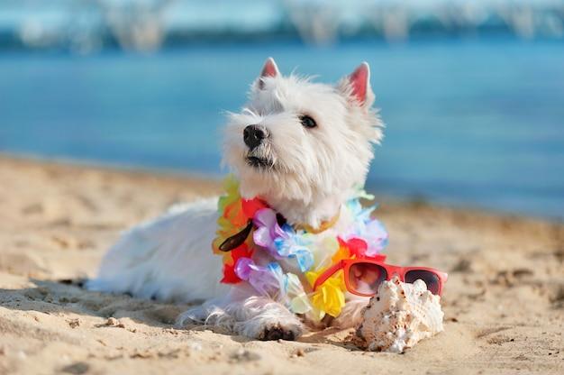 West highland terrier r. na plaży z kwiecistą girlandą na szyi