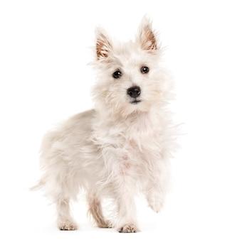 West highland white terrie pies, westie, spacery, na białym tle
