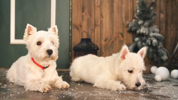 West highland white terrier psy czekają na boże narodzenie